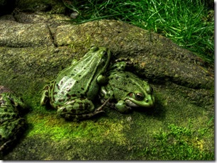 Green_Frogs_by_Craben